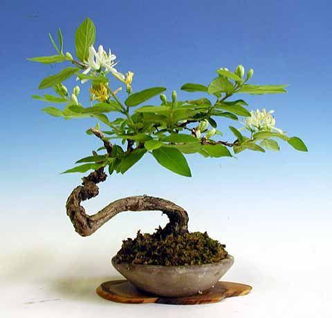 Flowering Japanese Honeysuckle Bonsai Tree Medium Lonicera Japonica Halliana Purpurea