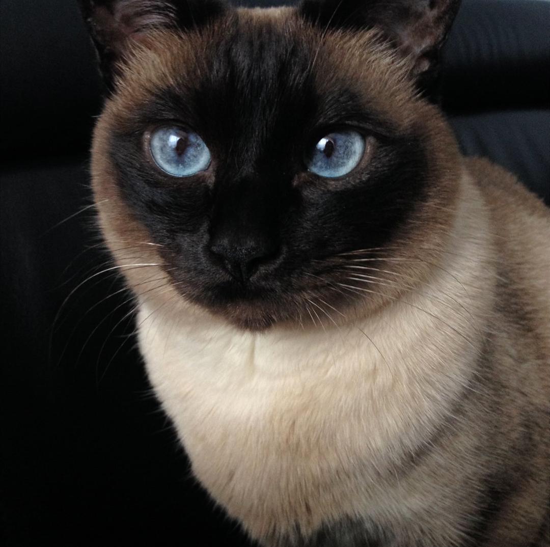 Hi Reddit Havana Brown Cat