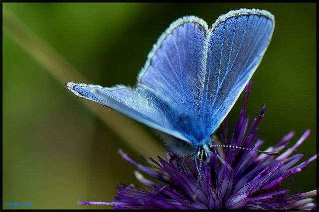 NOTHING COMMON ABOUT THIS BLUE BUTTERFLY | Flickr - Photo ...