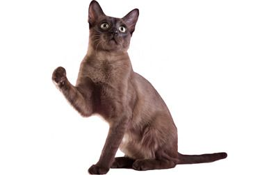 Facts and background on this amazing breed of cat