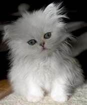 OH I want this cat, full grown cat. tea cup Persian | My Style ...