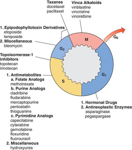 Cell Cycle And Chemotherapy Heme Oncology Cell Cycle