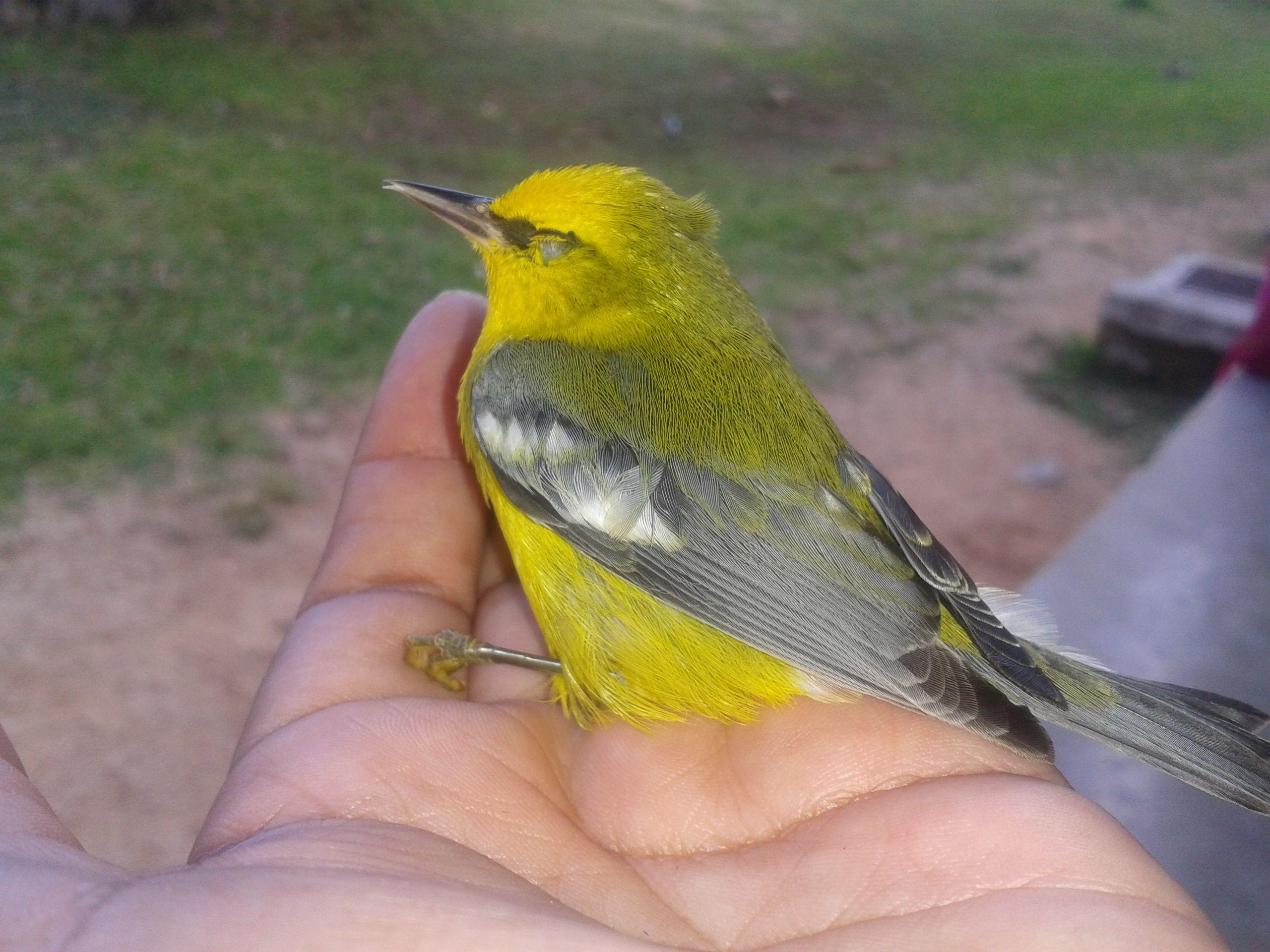 En el colegio donde trabajo, es muy común que los pájaros pequeños se estrellen en los cristales, por lo que me encargo de reanimarlos y dejarlos en libertad