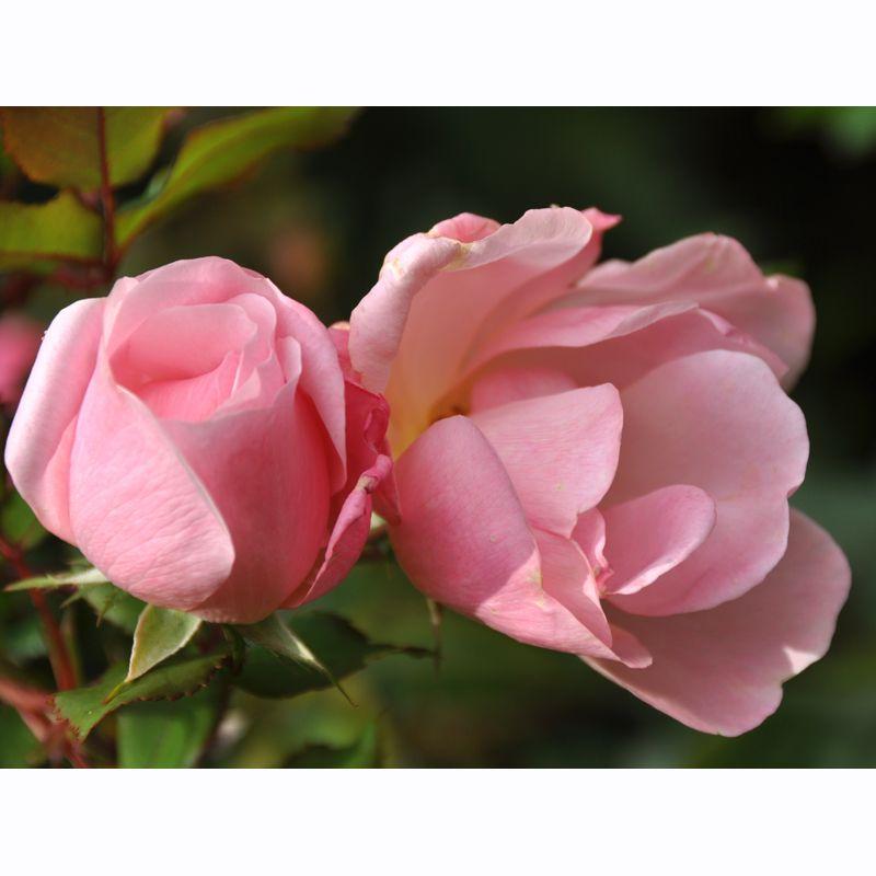 November roses