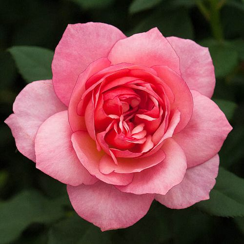 130520 287 Rosa Channabelle Hartempter Jpg Amazing Flowers Beautiful Roses Blossom Garden