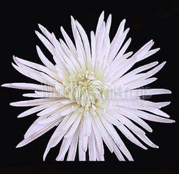 White spider mum anastasia flower white wedding flowers spider mum flower buy wholesale anastasia spider mums for weddings in bulk mightylinksfo