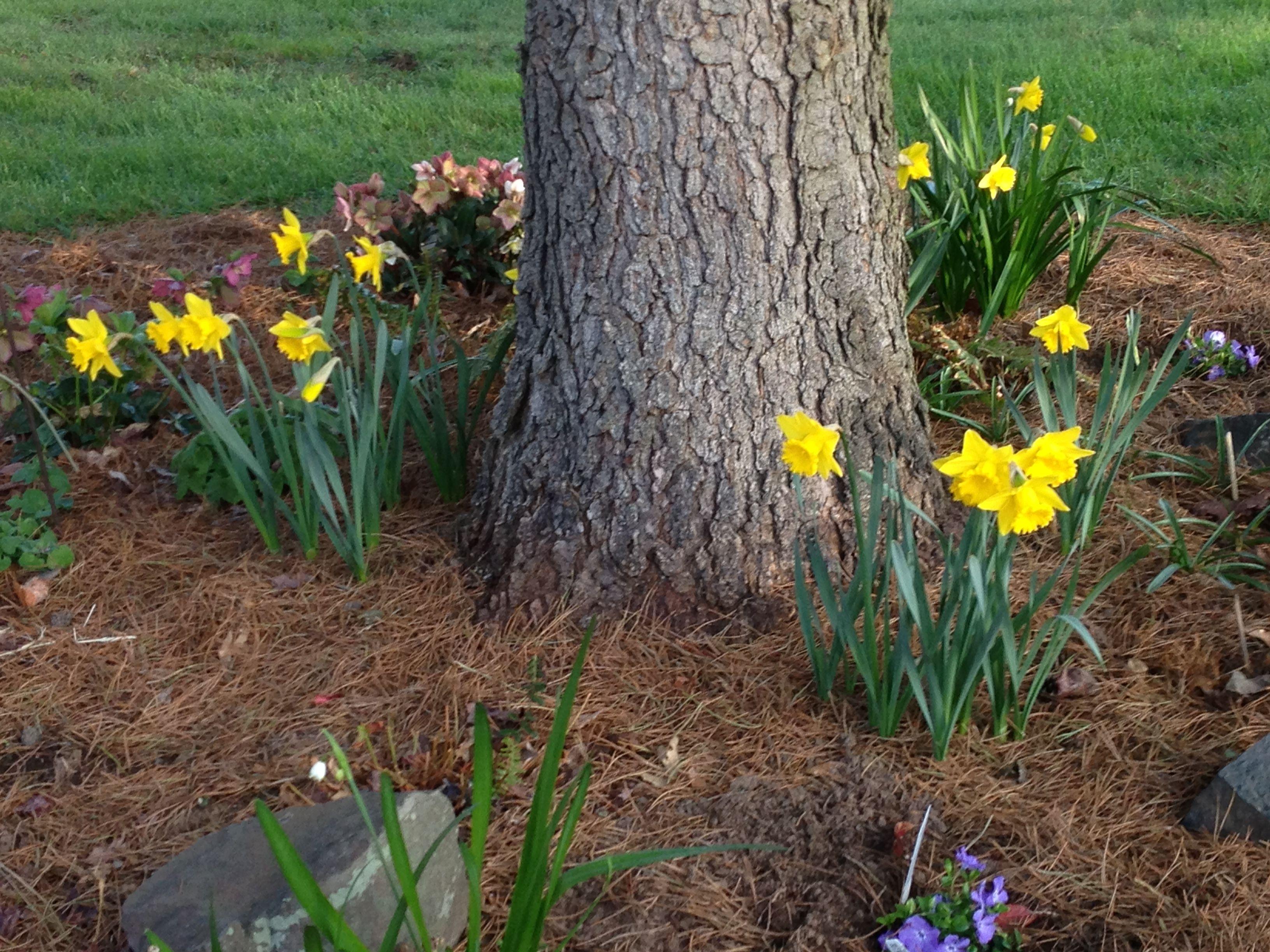 Daffodils Under Pine Tree Tree Garden Design Plants Under Trees Garden Trees