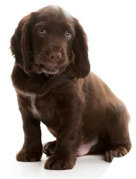 Hearing Dog Puppy Marley Www Hearingdogs Org Uk Puppies Dogs Dogs And Puppies
