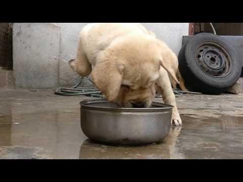 Labrador Retriever Puppies In Bangalore Labrador Retriever