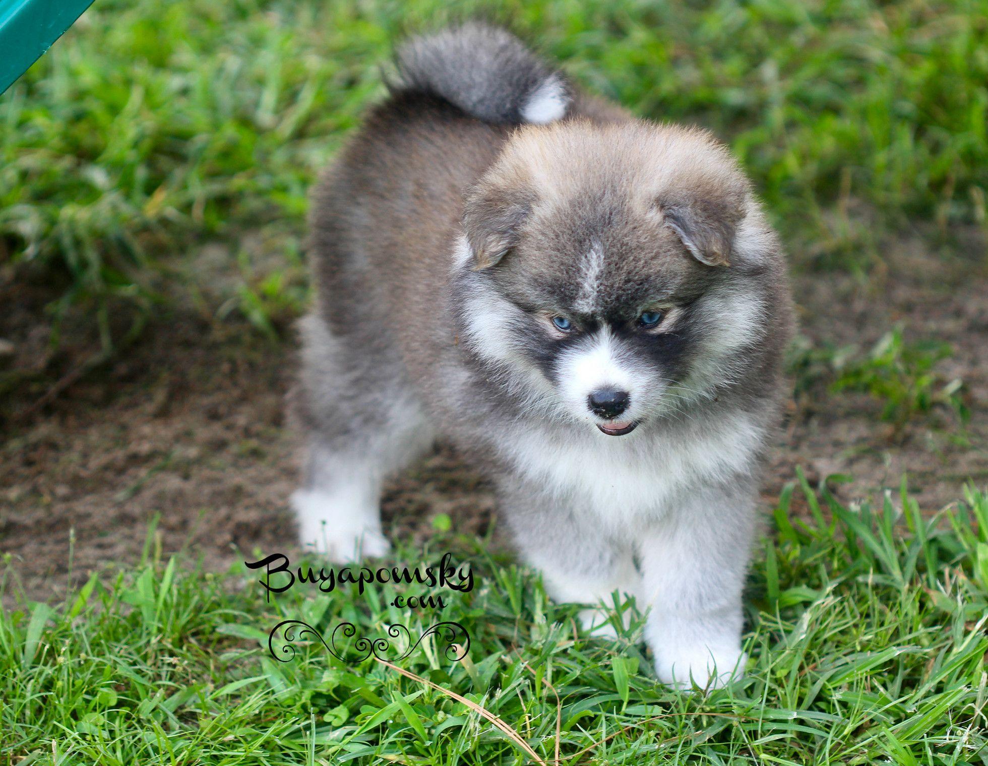 Buyapomsky Pomsky Puppies United States Buyapomsky Pomsky