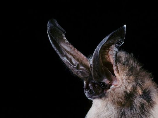 10 Extremes Animals Whose Names Begin With The Letter O Bat Species Animals Bat