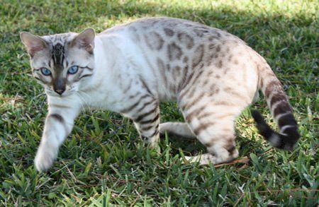 Blue Eyed Snow Bengals In S Fl Bengal Kitten Bengal Cat Bengal