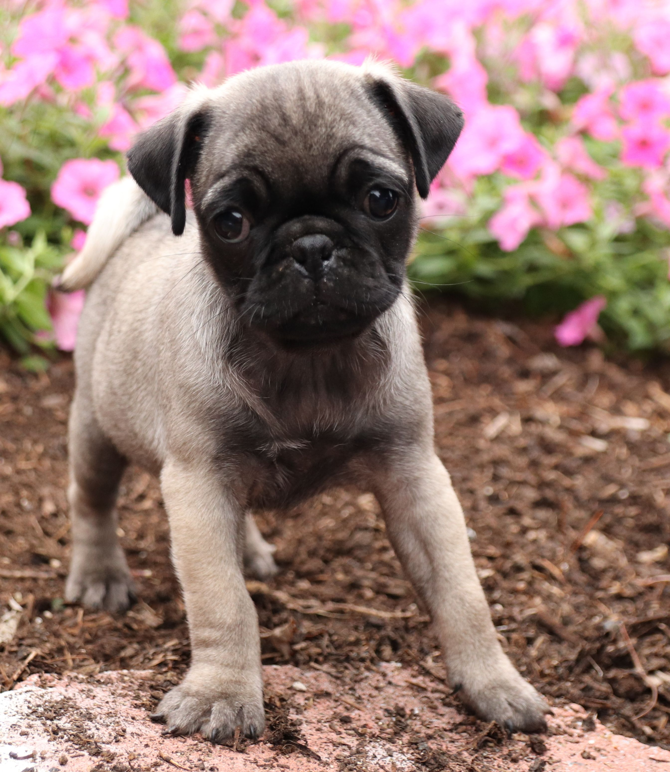 Pin By Ian Michael On All About Pugs In 2020 Pug Breeders Puppies