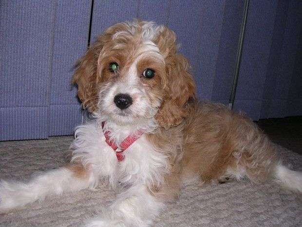 Dog Breed Of The Day Cockapoo Designer Dogs Breeds Cocker