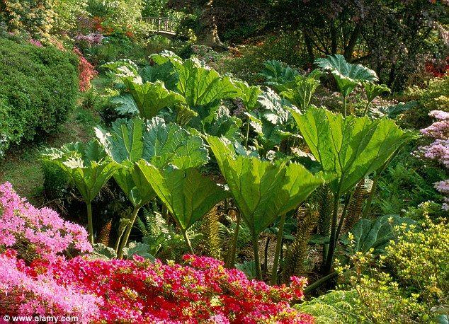 It S A Wonderful Leaf Huge Brazilian Plant Growing In Dorset Has 11ft Wide Leaves Plants Dorset Leaves