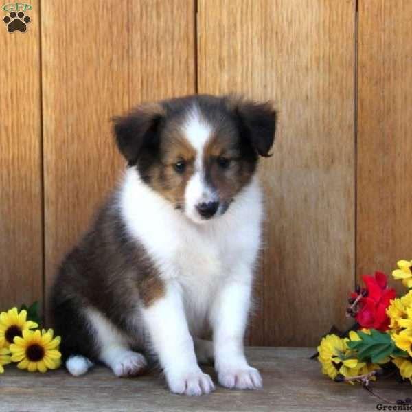 Bernie Shetland Sheepdog Puppy For Sale In Pennsylvania Shetland Sheepdog Puppies Puppies For Sale Shetland Sheepdog