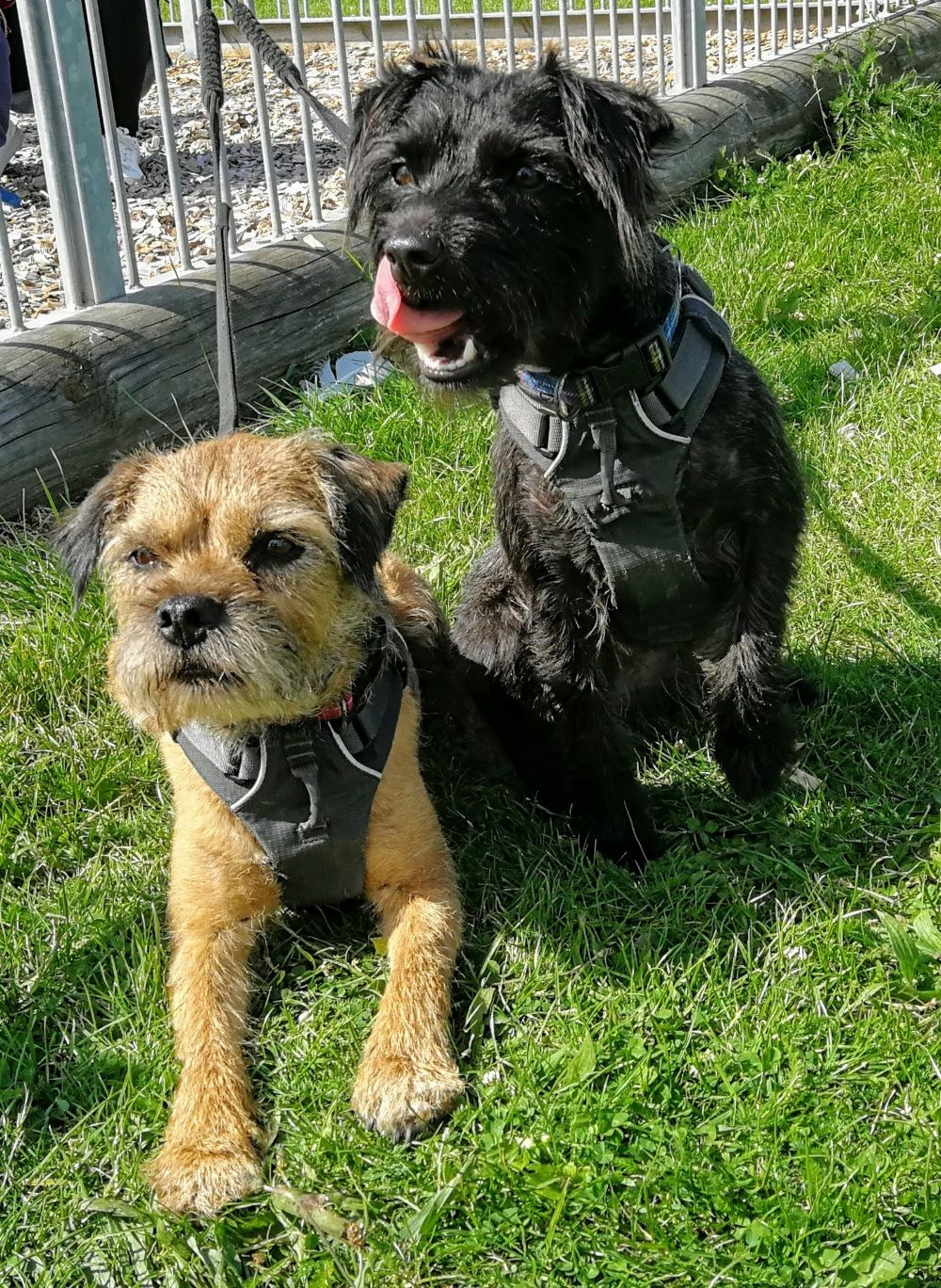 Nose Lick From Poppy Patterdale Terrier Border Terrier