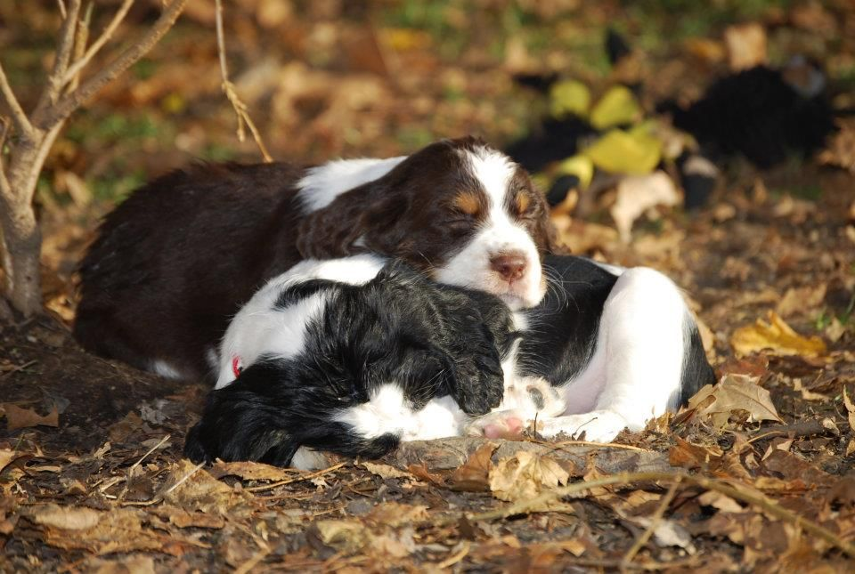 English Springer Spaniel Puppies Photographed By Heather Kent Serock English Springer Spaniel Springer Spaniel Springer Spaniel Puppies