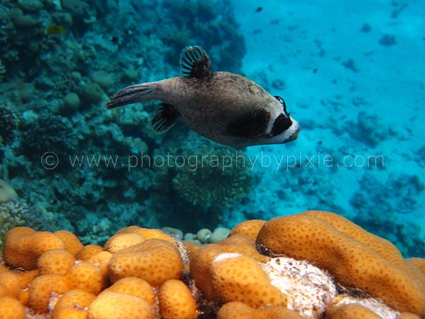 Puffer Fish in Egypt 2012 3 by Photography By Pixie, via Flickr