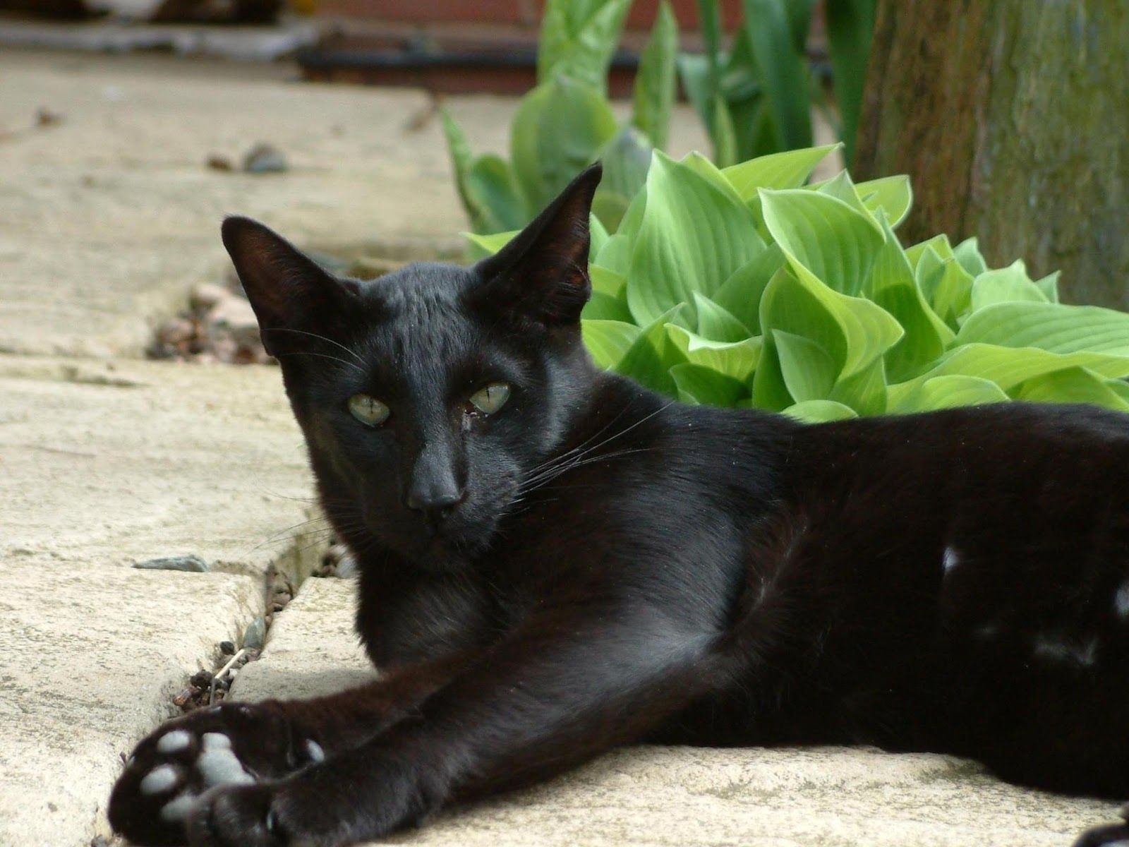 Cats Types All Black Cat Breed Black Cat Breeds Oriental Shorthair Kittens Black Cat Pictures