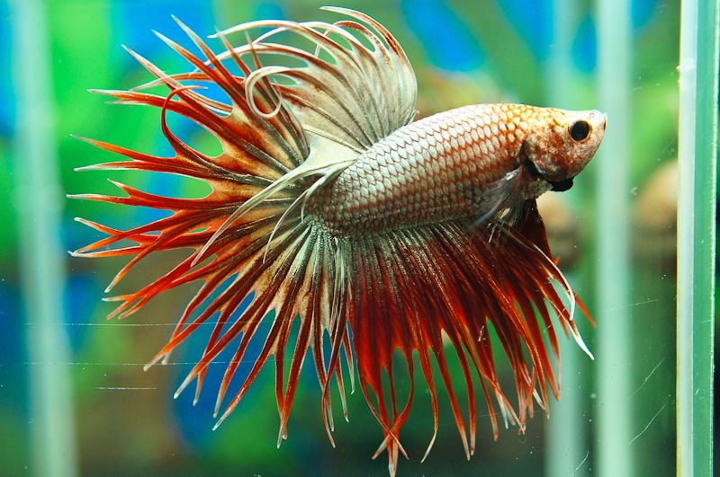 Red gold crowntail fancy bettas pinterest red gold for Betta fish temp