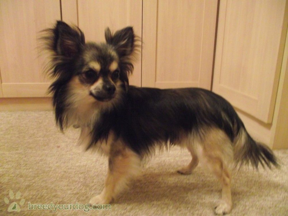 Pin By Leah Schuman On Longhaired Chihuahuas Stud Dog Dogs