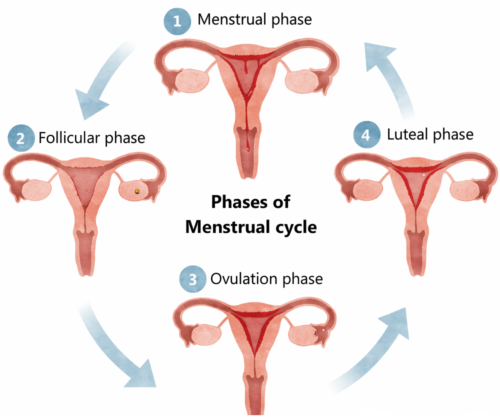 Menstruation  All Menstruation Cycle Questions And Answers
