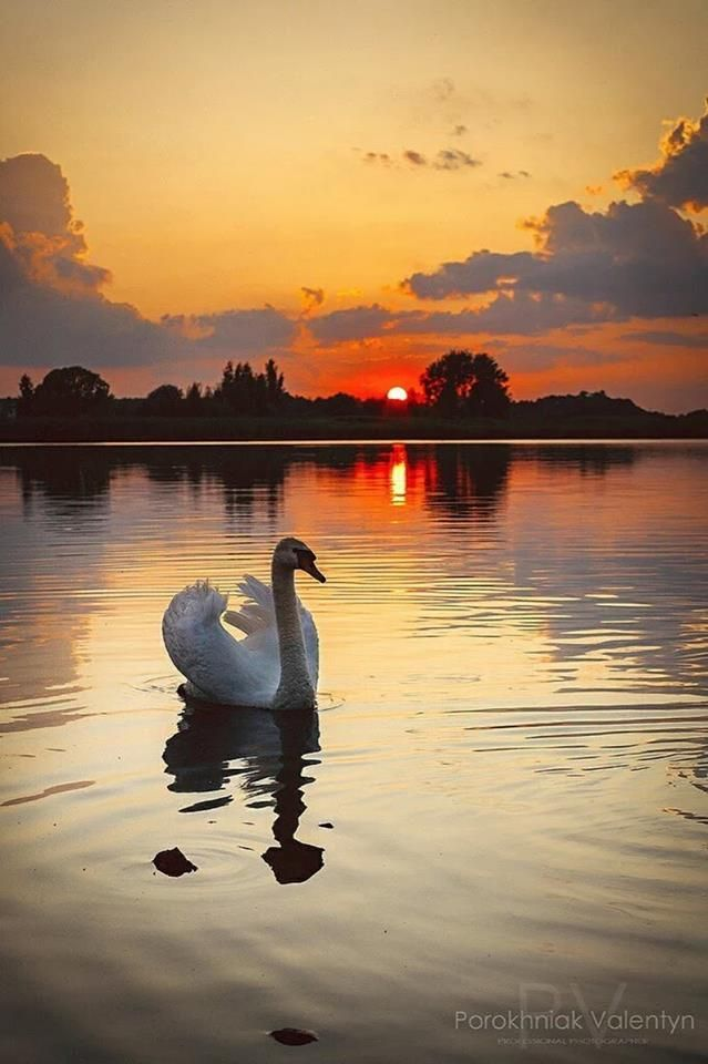 Image result for swan on lake at sunset | Nature photography, Nature, Beautiful swan