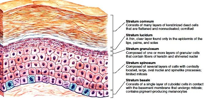 Layers Of The Epidermis Hair Study Board Pinterest Anatomy And