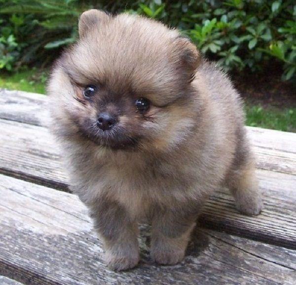 Idea by Christy on Puppys Pomeranian puppy for sale