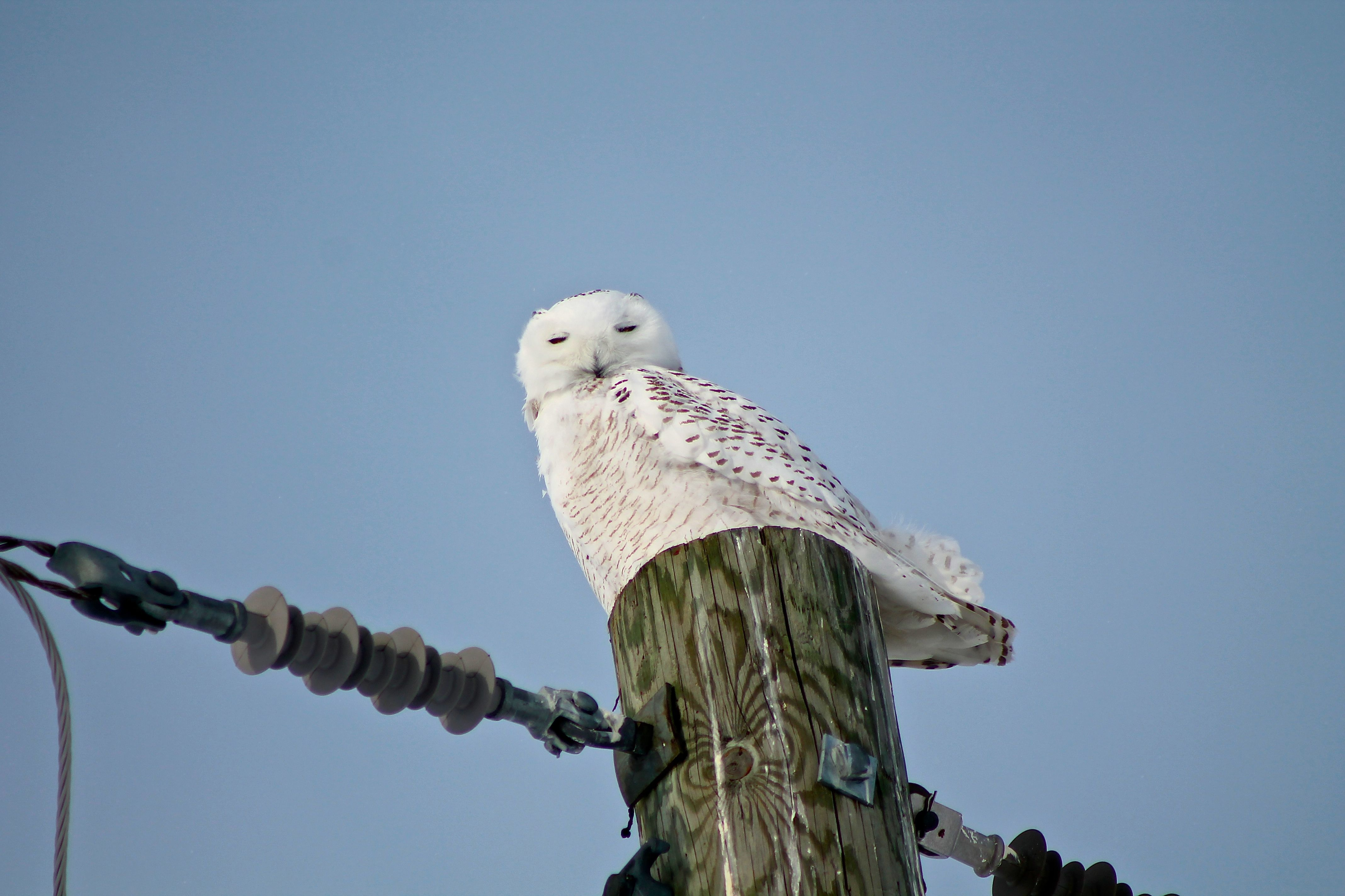 Snowy Owl - Napanee, Ontario - January 2014.