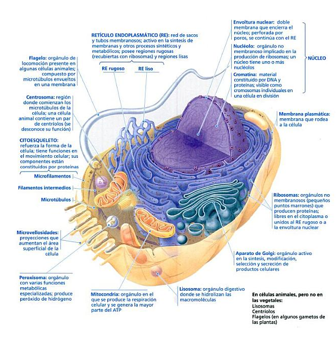 celula animal | la celula | Pinterest | Célula animal, Celulas y ...