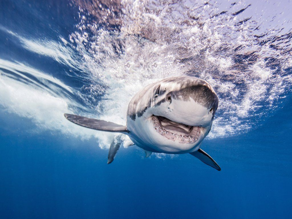 Great White Shark After Attacking Bait Shark, Animals