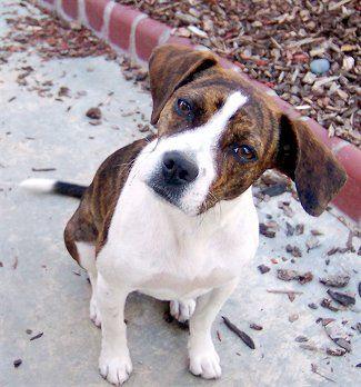 Boglen Terrier Boglen Terriers Beagle Boston Hybrid With Images