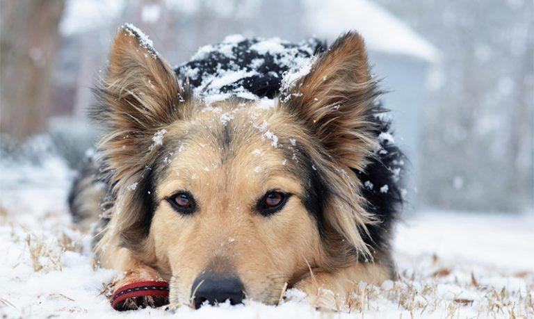 Australia German Shepherd Puppies 2021
