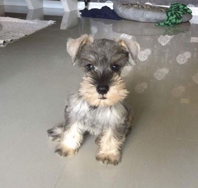 Oh so cute! Miniature schnauzer puppies, Cute dogs and