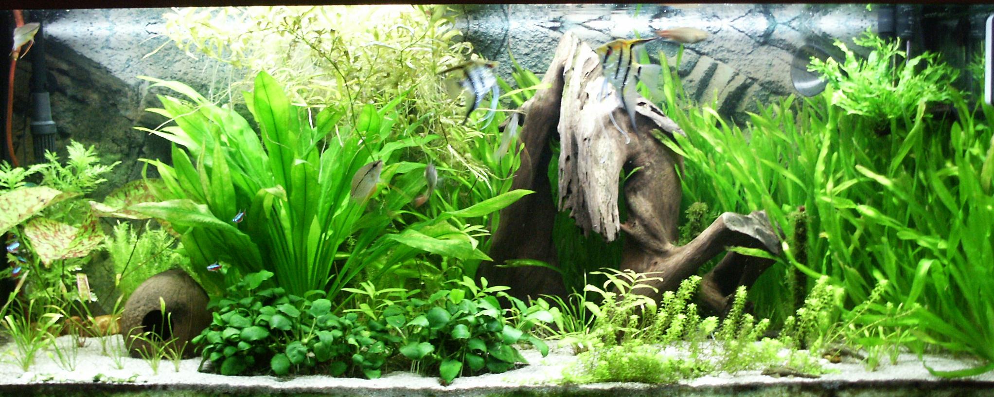planted angelfish tank | Freshwater Aquarium Plants Create ...