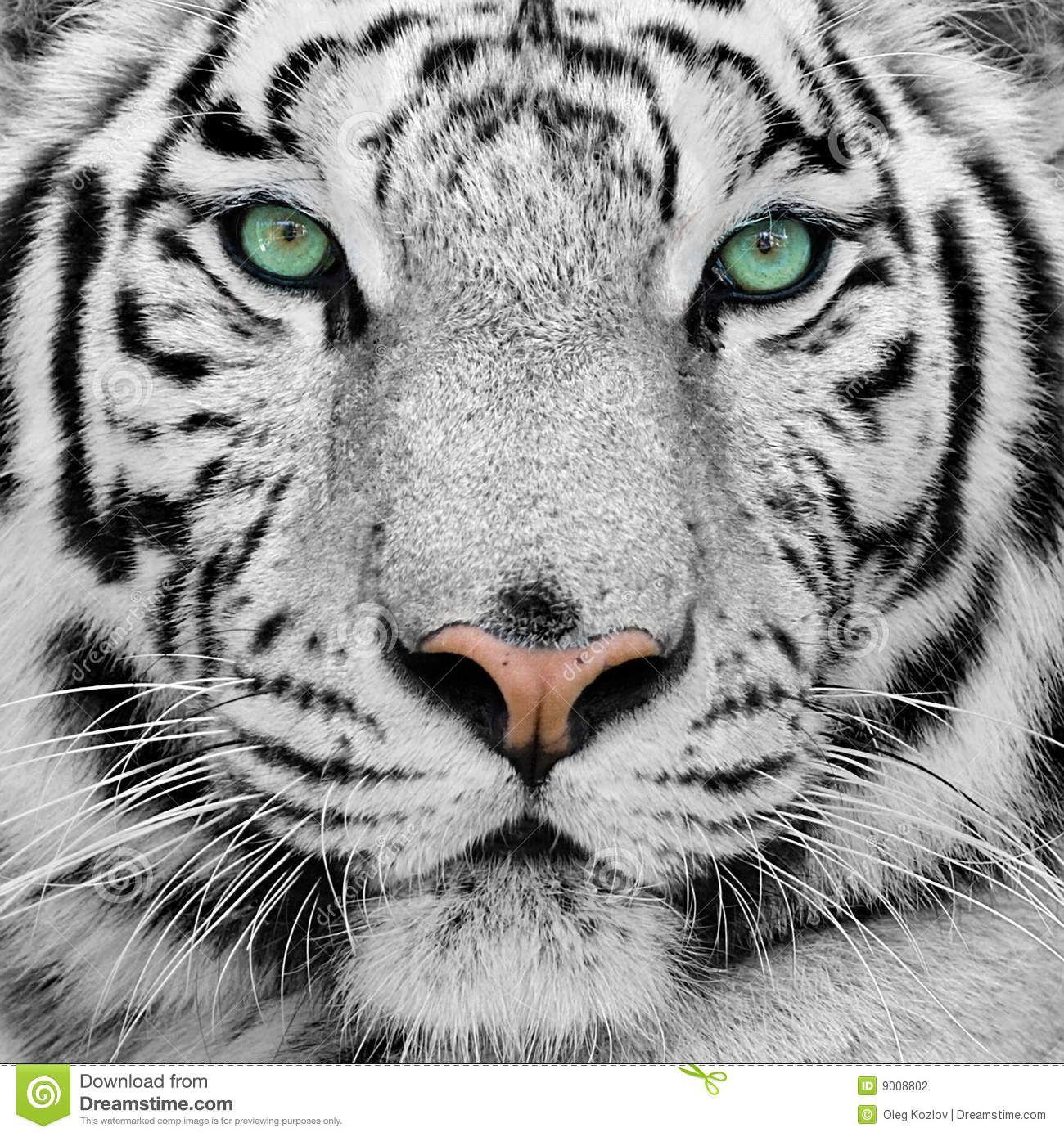 White Tiger Tiger Photography Animals Wild Animal Photography