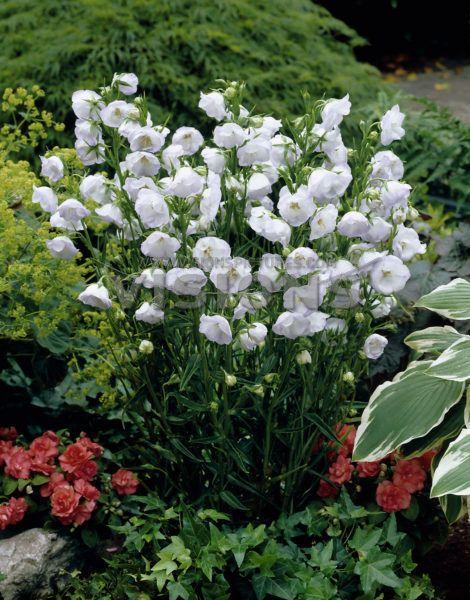 Dzwonek Bialy Pelny Campanula Persicifolia La Bello Campanula Plants Flowers