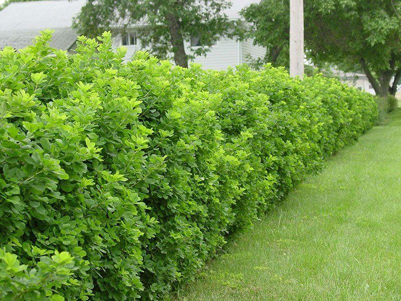 желтковую массу растения для живой изгороди фото и названия песням чёрная гроза