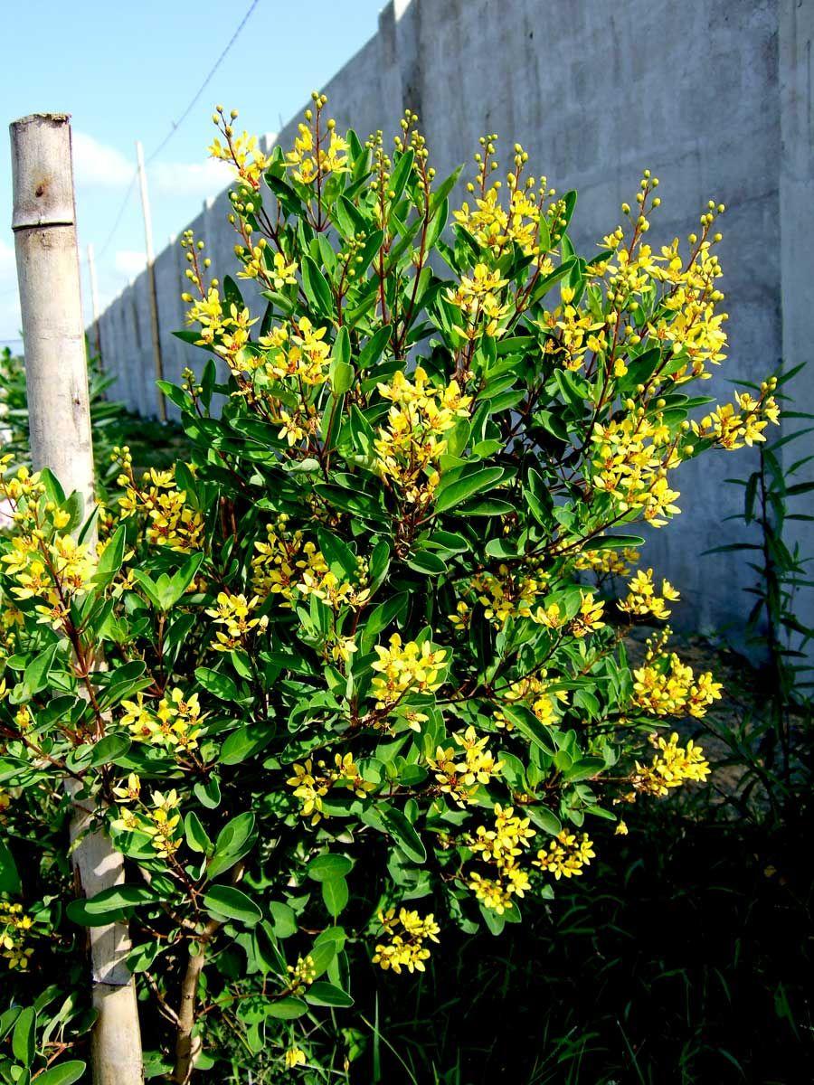 THRYALLIS (GALPHIMIA GLAUCA) Flowering trees, Flower garden
