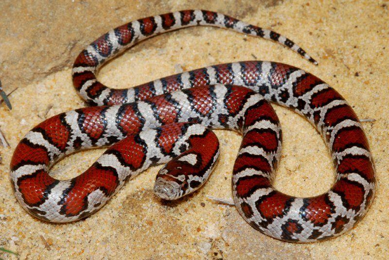 Eastern Ferrebeekeeper Milk Snake Snake Reptiles And Amphibians