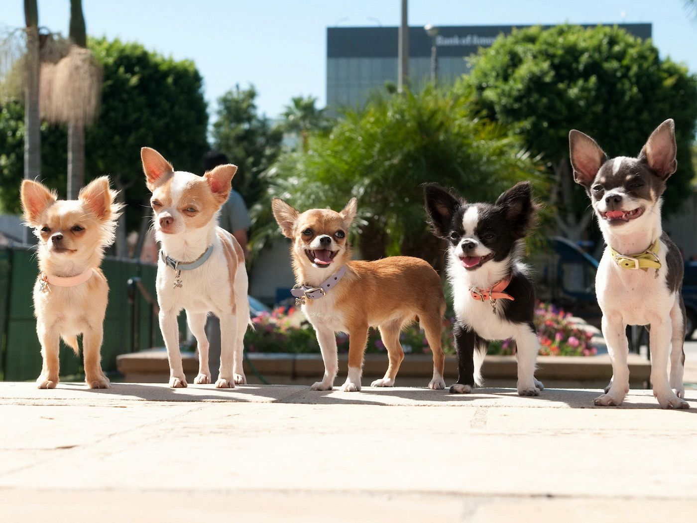 Chihauhau Gang Are They Tough Cute Chihuahua Chihuahua Facts