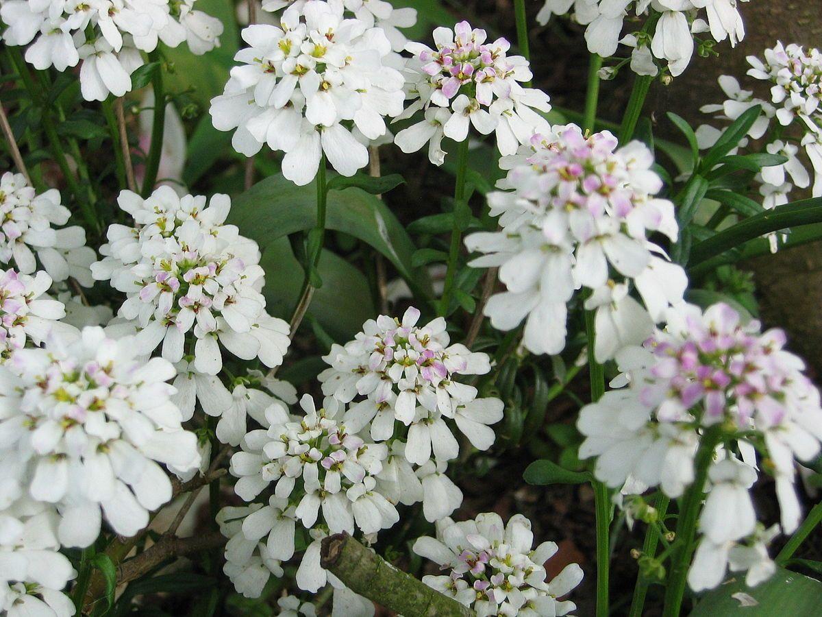 Iberis Sempervirens Wikipedia Summer Flowers To Plant Flowers Perennials Flower Garden