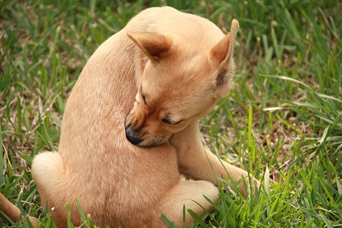 Suspect Your Itchy Dog Has A Food Allergy Itchy Dog Your Dog