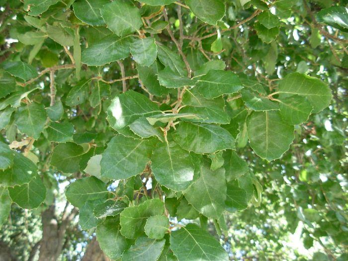 Cork Oak / Quercus suber   Plant leaves, Plants, Leaves