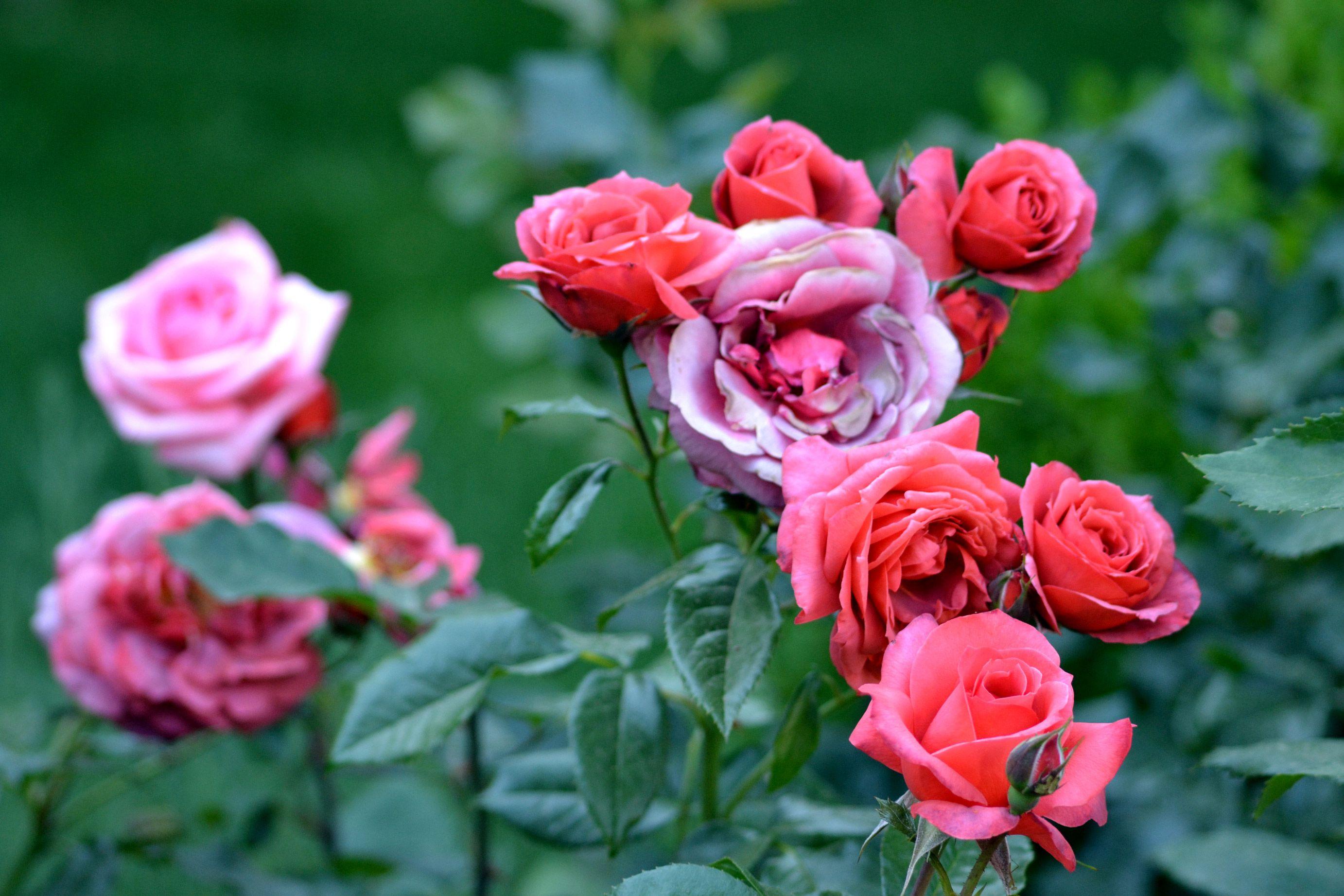 roses photography - Google-haku