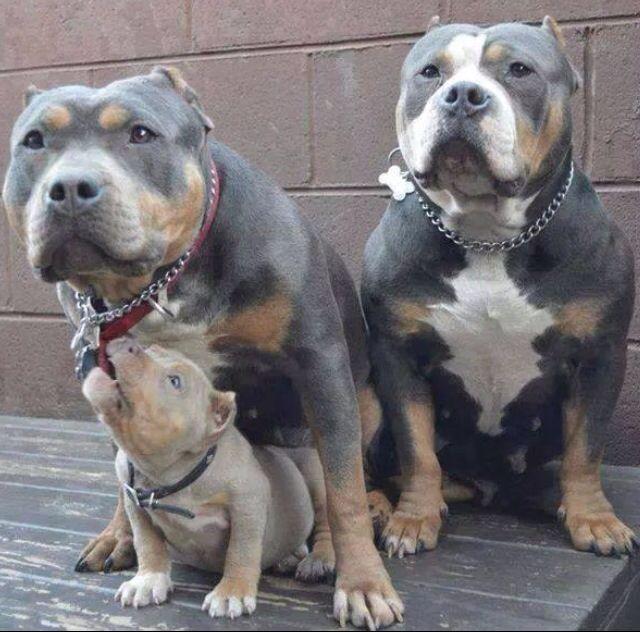 Familia Bully Dog Cute Dogs Pitbull Puppies