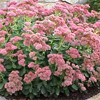 sedum aka stonecrop perennial flowering succulent late summer and fall blooms good rock garden plant drought tolerant plant care guides