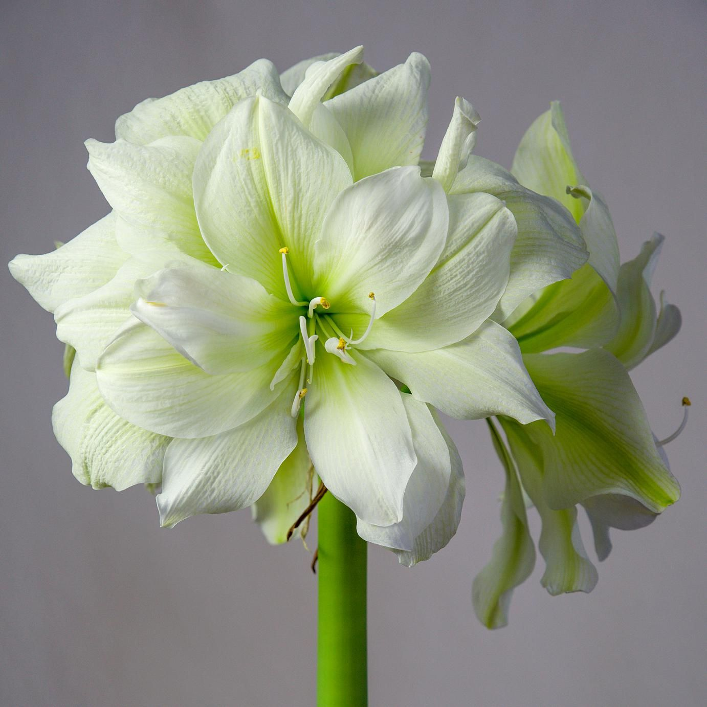 White Flower Pots For Sale Amaryllis Bulbs Amaryllis Marilyn For Sale The